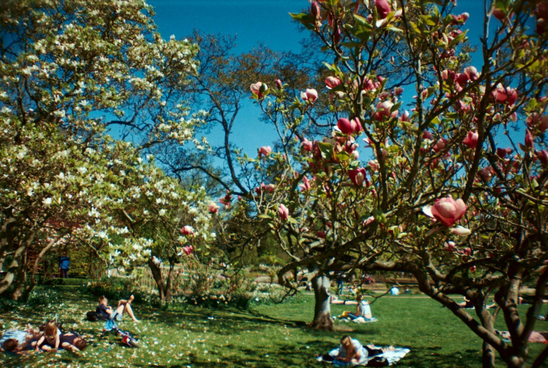 Magnolia Bloom Season Spring Forår Landbohøjskolens have Frederiksberg København Copenhagen Copenhej